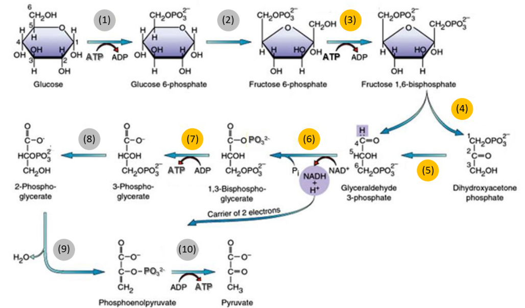 Figure 1: Glycolysis pathway overview, reproduced from [kasturisem2biochem.wordpress.com]. Yellow reaction numbers denote reactions within the focus of this project